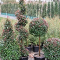 Cherry Bomb topiaries